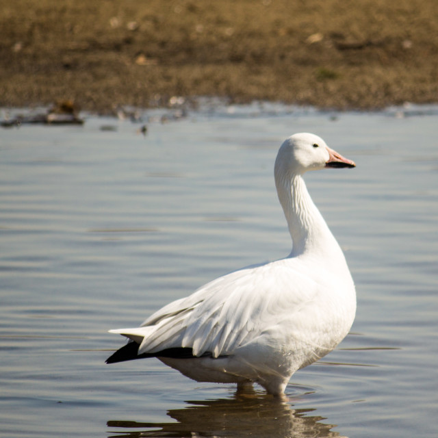 """snow goose standing on the lake in springtime"" stock image"