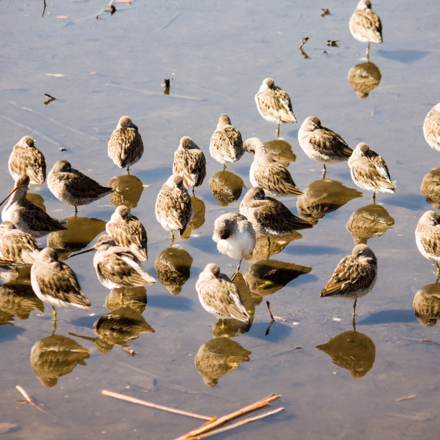 """flock of dowitchers feeding on the lake"" stock image"