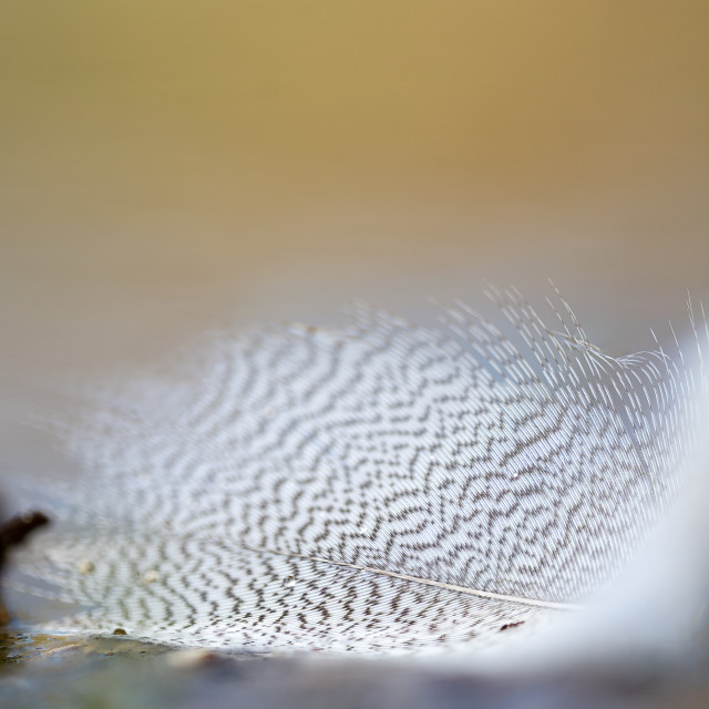 """""""Small details of a bird feather at the waters edge"""" stock image"""