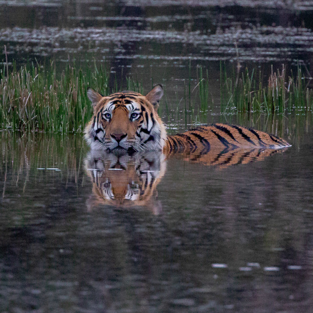 """""""Tiger in water at Bandhavgarh"""" stock image"""