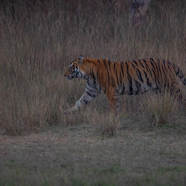 """""""Tiger at Bandhavgarh"""" stock image"""