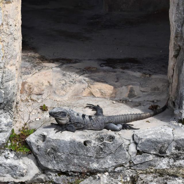"""""""Iguana at Mayan Ruins, Tulum"""" stock image"""