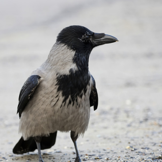 """Hooded crow in the wild"" stock image"