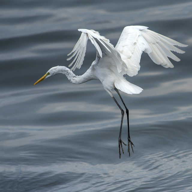 """Great White Egret Flight Control"" stock image"
