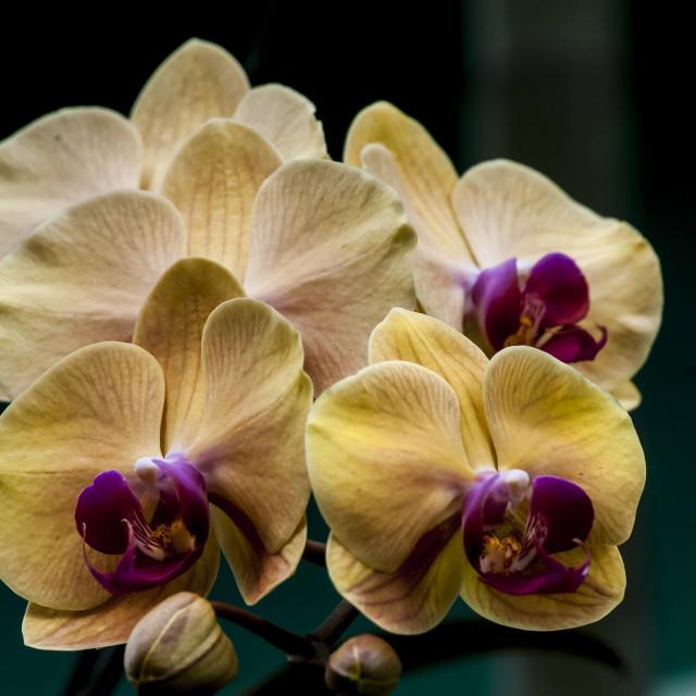 """""""Orquídeas amarelas"""" stock image"""