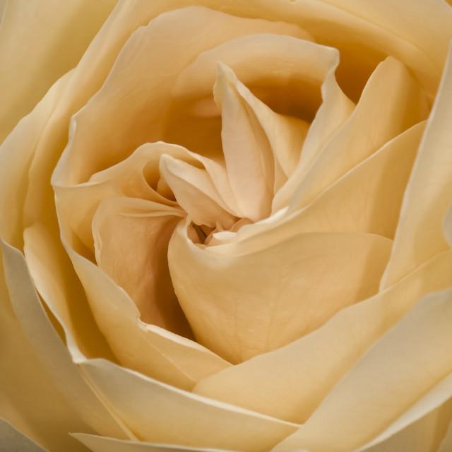 """""""Rosa amarela"""" stock image"""