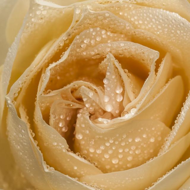 """""""Gotas de água em uma Rosa amarela"""" stock image"""