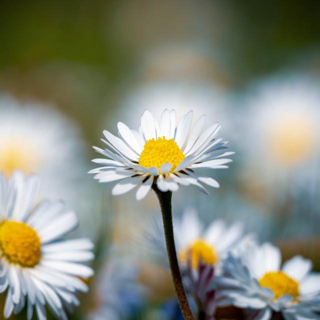 """Sunlight hitting Daisy."" stock image"