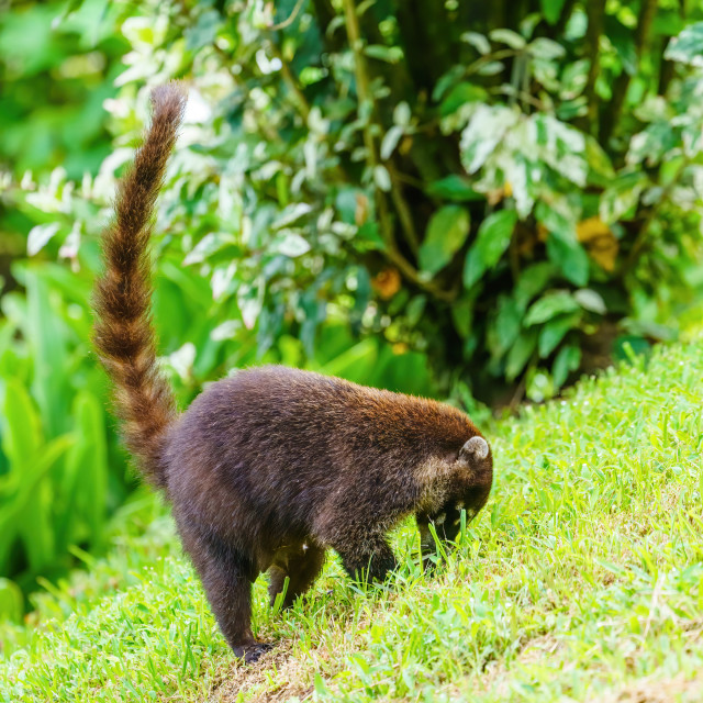 """Ring-Tailed Coati (Nasua nasua rufa) female foraging for food, taken in Costa..."" stock image"