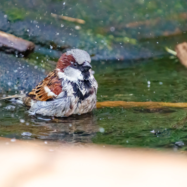 """""""House sparrow (Passer domesticus) male having a bath in small pond, taken in..."""" stock image"""