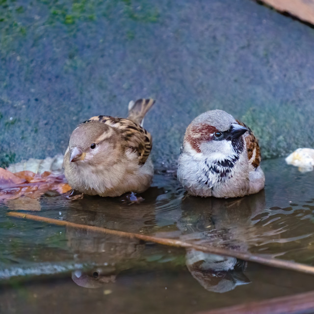 """""""House sparrow (Passer domesticus) male and female having a bath in small..."""" stock image"""