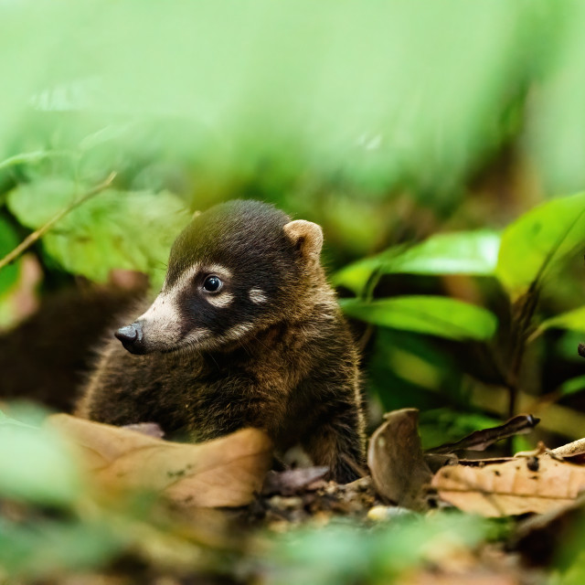 """Baby Ring-Tailed Coati (Nasua nasua rufa) looking to the side, taken in Costa..."" stock image"