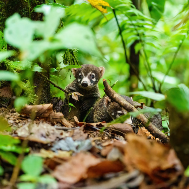 """Pair of Baby Ring-Tailed Coati (Nasua nasua rufa) moving through forest,..."" stock image"