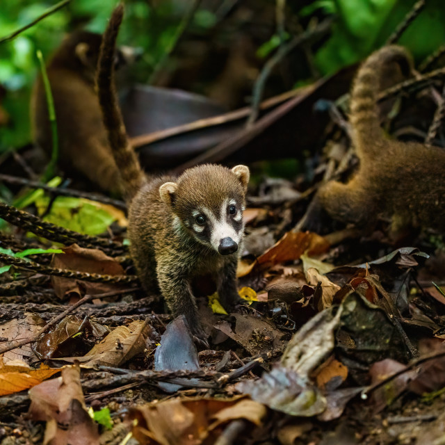 """Baby Ring-Tailed Coati (Nasua nasua rufa) looking catiously at camera, taken..."" stock image"