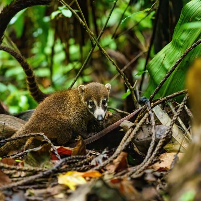 """Baby Ring-Tailed Coati (Nasua nasua rufa) moving through jungle with it's..."" stock image"