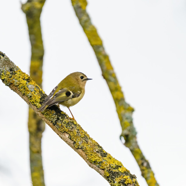 """Goldcrest (Regulus regulus) from behind perched on a branch in early spring,..."" stock image"