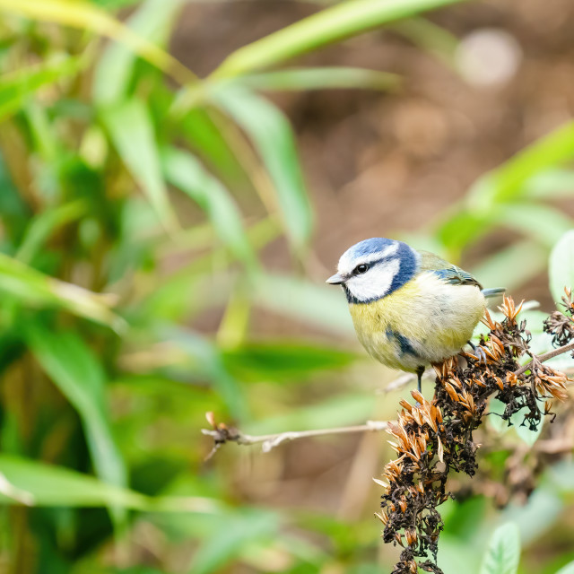 """Blue Tit (Cyanistes caeruleus) sitting on the end of a twig, taken in West..."" stock image"