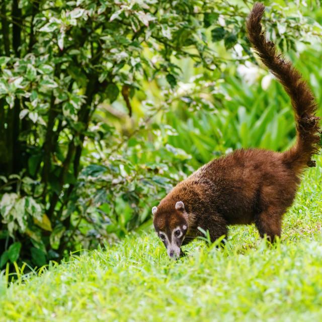 """Ring-Tailed Coati (Nasua nasua rufa) searching grass for food, taken in Costa..."" stock image"