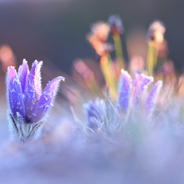 """Hairy greater pasque flower flourish in spring sunlit nature with copy space"" stock image"