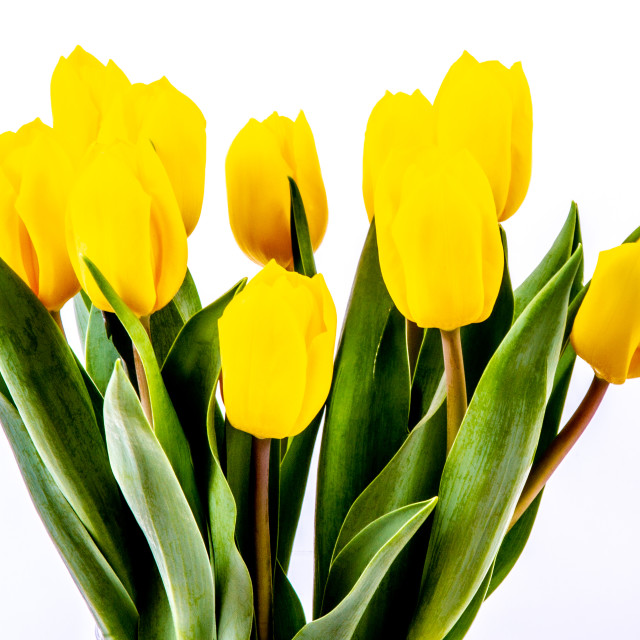"""Bright Yellow Daffodils"" stock image"