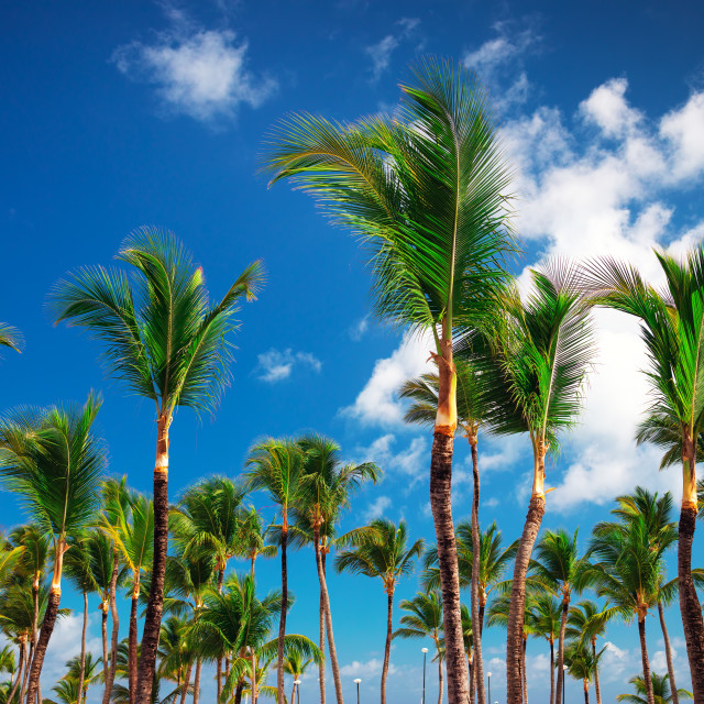 """Palm tree and cky with clouds on tropical beach in Punta Cana, D"" stock image"