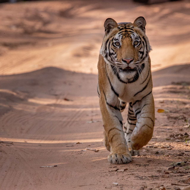 """""""Tiger in India"""" stock image"""