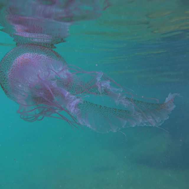 """""""Rare Jellyfish Sighting in Vieques"""" stock image"""
