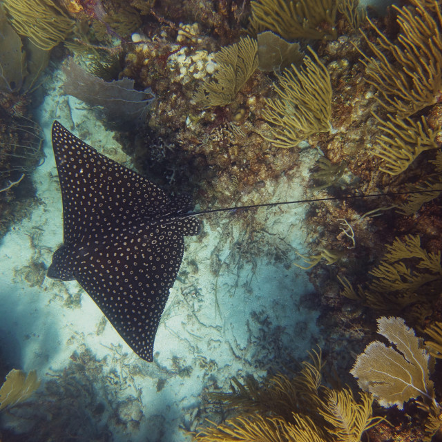 """""""Spotted Eagle Ray"""" stock image"""