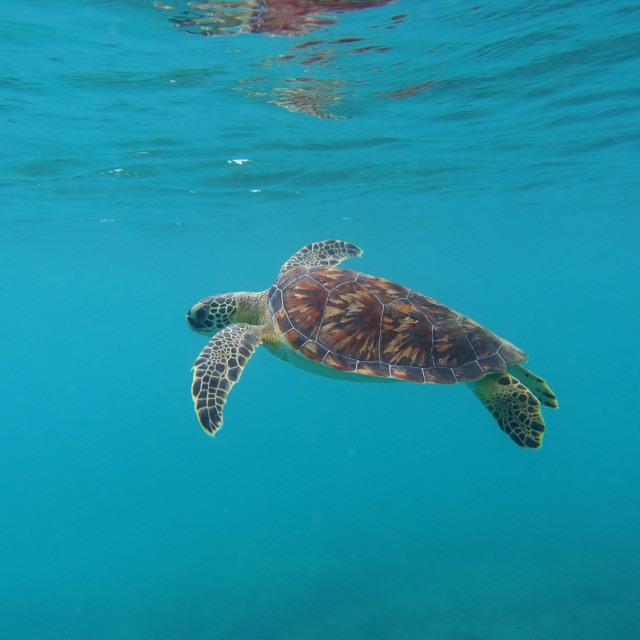 """""""Green Turtle Floating"""" stock image"""