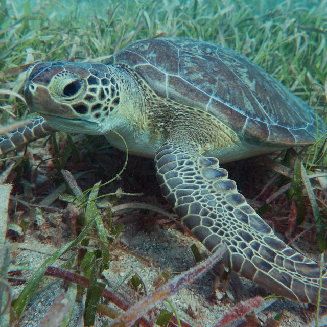 """""""Green Turtle in the Grass"""" stock image"""