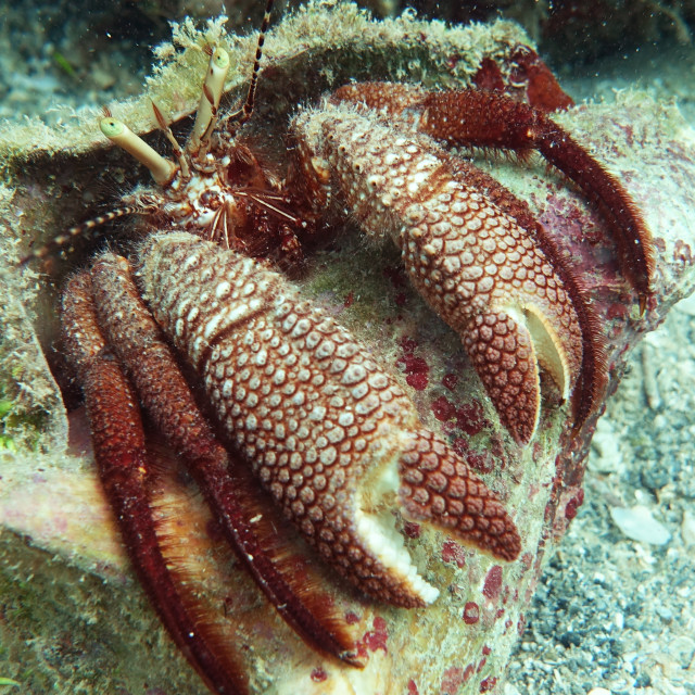"""""""Giant Hermit Crab Extended"""" stock image"""