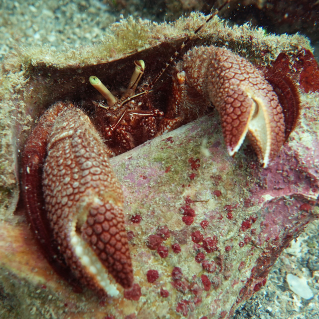 """""""Giant Hermit Crab Starring At YOU"""" stock image"""