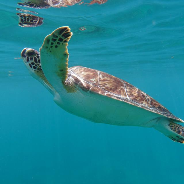 """""""Turtle Reflection"""" stock image"""