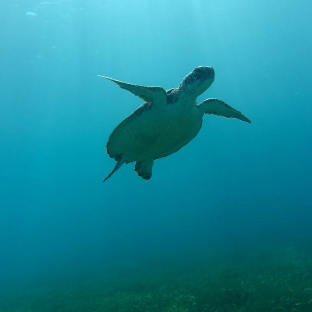 """Sunlit Green Turtle"" stock image"