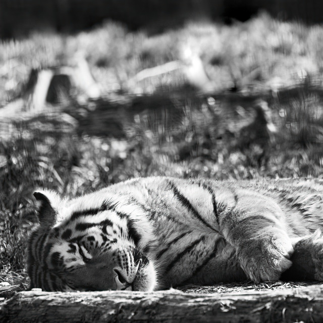 """Sleeping Tiger"" stock image"