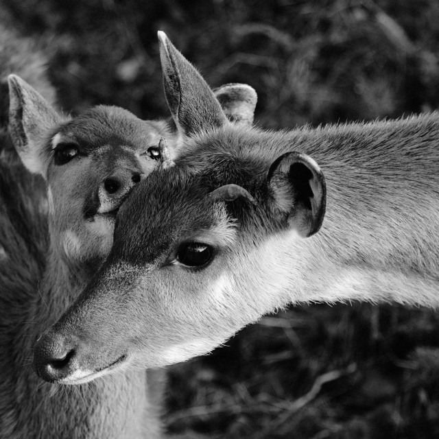 """Sitatunga calf and its mum"" stock image"