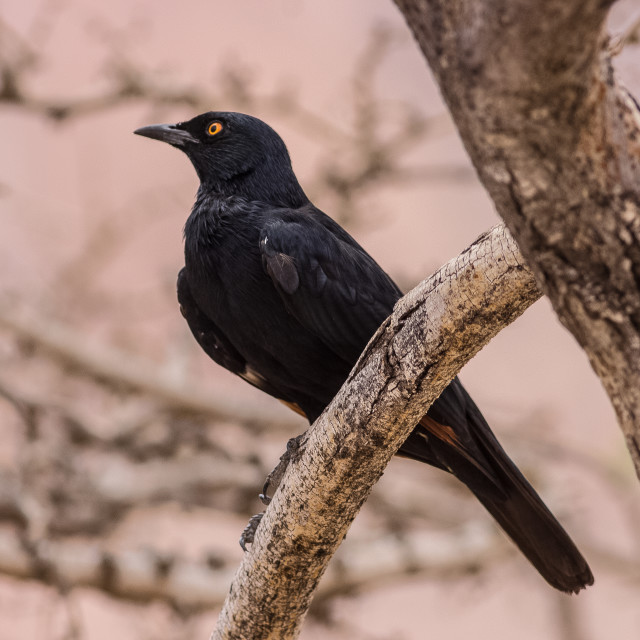 """black bird on a tree portrait"" stock image"