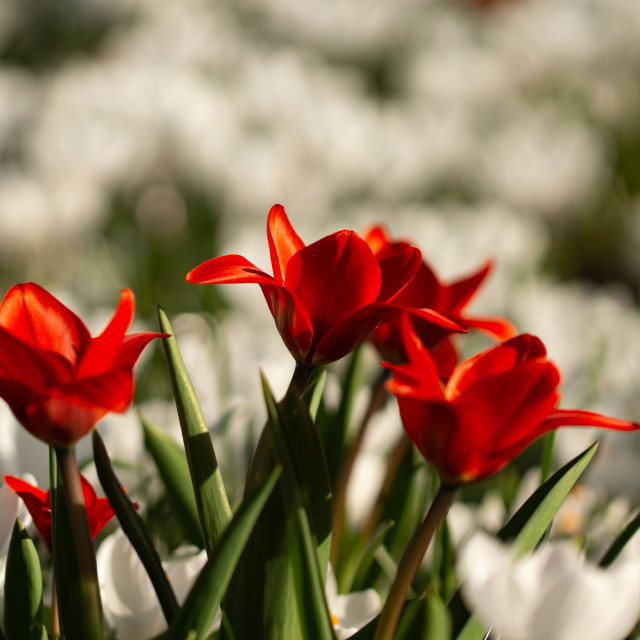 """""""Red on a sea of white"""" stock image"""