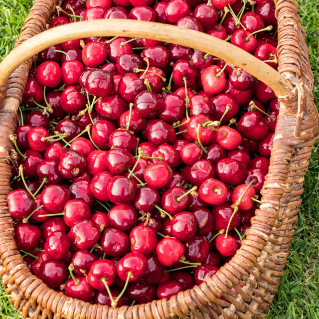 """wicker basket placed on the grass and filled with beautiful red cherries"" stock image"