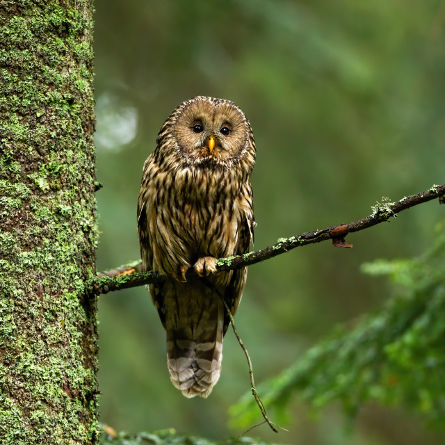 """Attentive tawny owl looking to camera in forest on green background"" stock image"