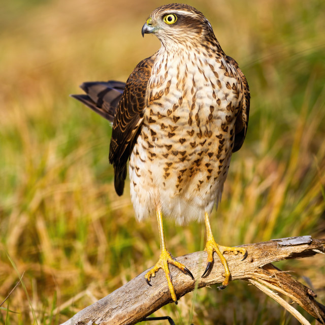 """""""Adult eurasian sparrowhawk female holding tail up in sunlight"""" stock image"""