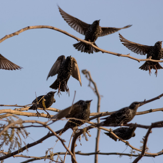 """""""group of starling about to fly"""" stock image"""