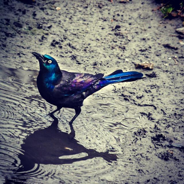 """Starling Bird"" stock image"