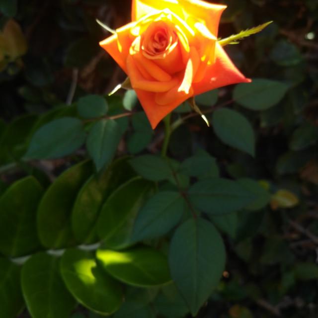 """Rose in Wailuku"" stock image"