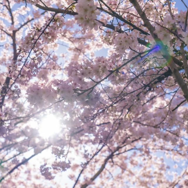 """Cherry Blossom 1"" stock image"