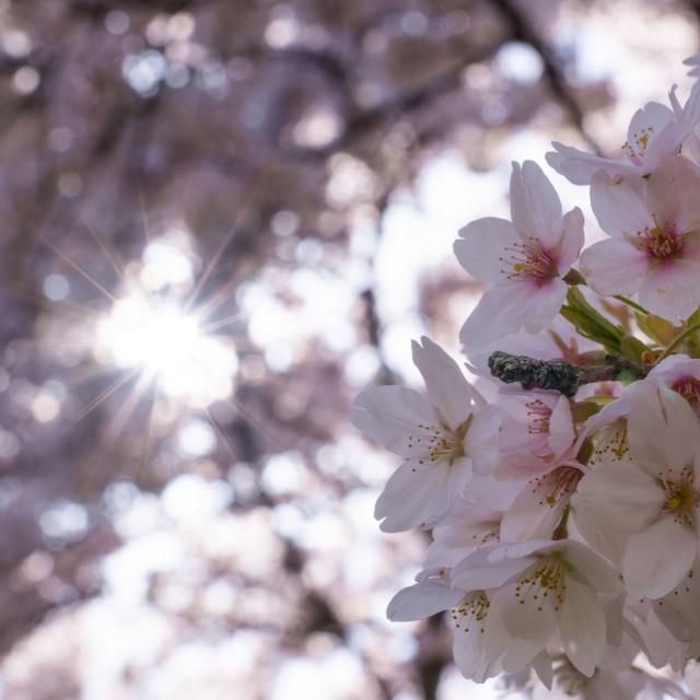 """Cherry Blossom 2"" stock image"