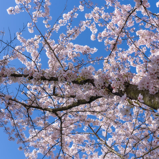 """Cherry Blossom 3"" stock image"