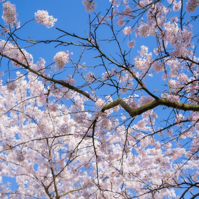 """Cherry Blossom 4"" stock image"