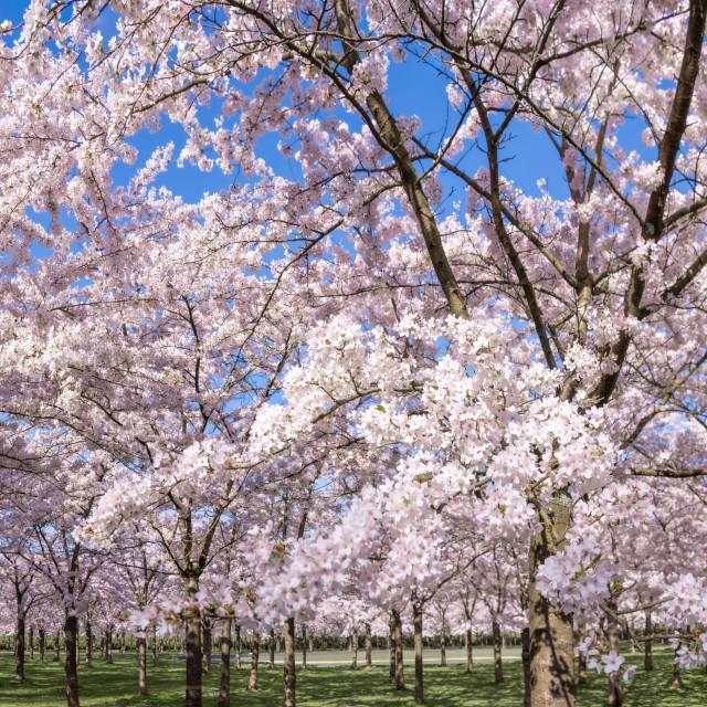 """""""Cherry Blossom Panorama 3"""" stock image"""