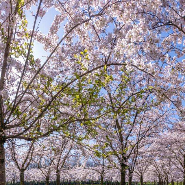 """""""Cherry Blossom Panorama 2"""" stock image"""